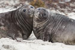 Southern Elephant Seal pups (Mirounga leonina) on a sandy beach on Sealion Island in the Falkland Islands.