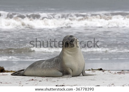 Southern elephant seal restin on the beach of the Falkland Islands