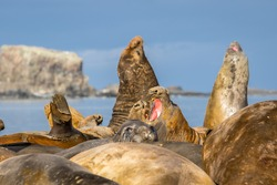 Southern Elephant seals in Antarctica