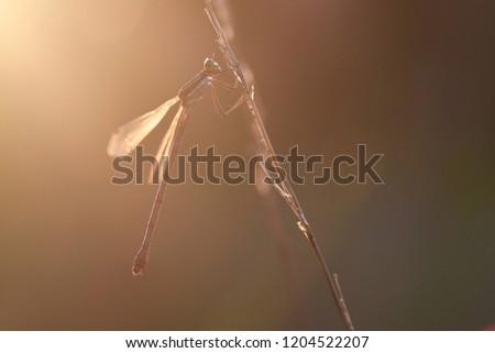 Southern emerald damselfly, shy emerald damselfly, migrant spreadwing (Lestes barbarus), female
