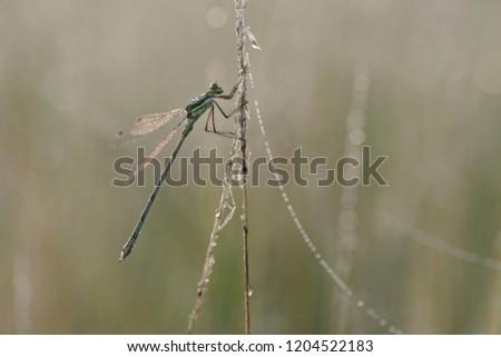 Southern emerald damselfly, shy emerald damselfly, migrant spreadwing (Lestes barbarus), male