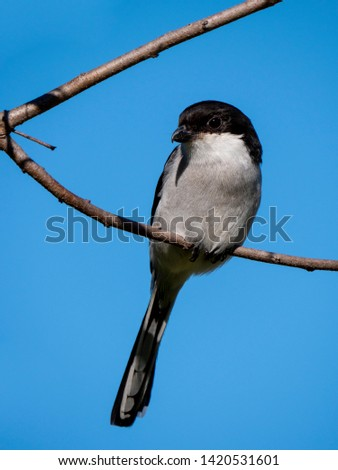 Southern fiscal, common fiscal or fiscal shrike (Lanius collaris) bird perched on branch against a blue summer sky. George. Garden Route. Western Cape. South Africa