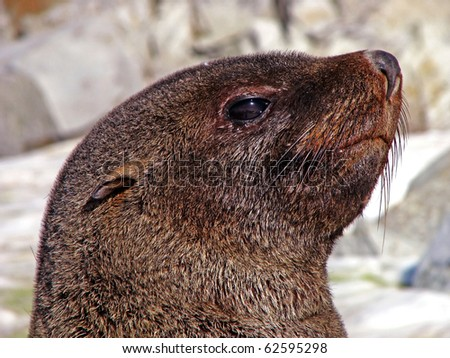 Southern fur seal, Antarctic Peninsula Galindez Island