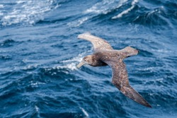 Southern Giant Petrel (Macronectes giganteus) in South Atlantic Ocean, Southern Ocean, Antarctica