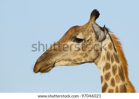Southern Giraffe portrait, (Giraffa camelopardalis)