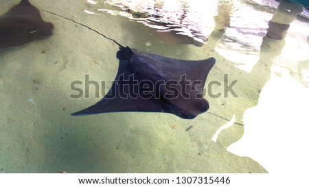 Southern gray stingray in a petting stingray tank. Stingrays in a tank that you can pet as they swim by you. #1307315446