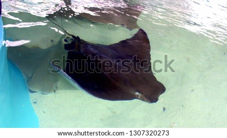 Southern gray stingray in a petting stingray tank. Stingrays in a tank that you can pet as they swim by you. #1307320273