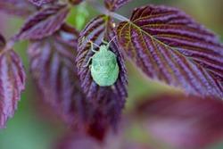 Southern green stink bug, southern green shield bug, green vegetable bug