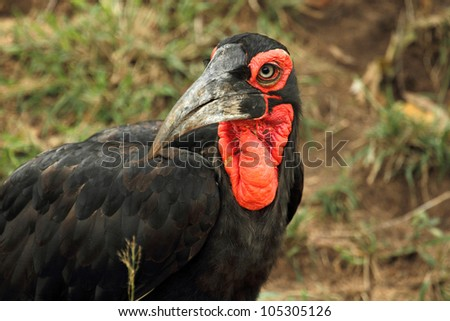 Southern Ground Hornbill, close up portrait