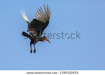 Southern Ground Hornbill flying isolated in blue sky in Kruger National park, South Africa ; Specie Bucorvus leadbeateri family of Bucerotidae