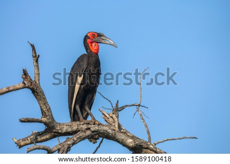 Southern Ground Hornbill in Kruger National park, South Africa ; Specie Bucorvus leadbeateri family of Bucerotidae