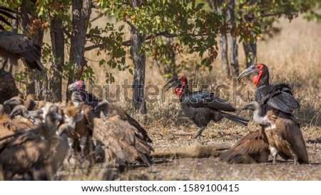Southern Ground Hornbill, lappet faced and white backed vultures in Kruger National park, South Africa ; Specie Bucorvus leadbeateri family of Bucerotidae