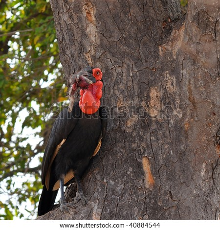 southern ground hornbill with prey in bill,Kruger NP in South Africa