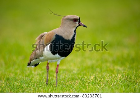 Southern Lapwing isolated on green - stock photo