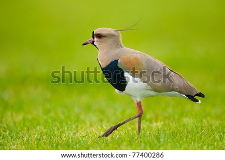 Southern Lapwing isolated on green