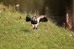 Southern Lapwing (Vanellus chilensis) on the Grass on Lakeshore with Open Wings (Wild Adult Southern Lapwing)