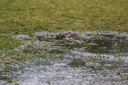 Southern Lapwing (Vanellus chilensis) Walking on the Grass on Lakeshore (Wild Adult Southern Lapwing)