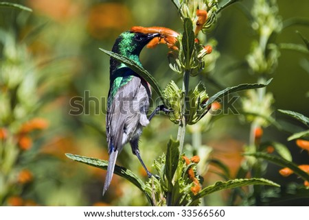 Southern lesser double-collared sunbird Cinnyris chalybea of Southern Africa (formerly placed in the genus Nectarinia)