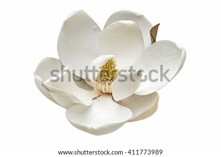 Southern magnolia (Magnolia grandiflora). Called  Evegreen Magnolia, Bull Bay, Bullbay Magnolia, Laurel Magnolia and Loblolly Magnolia also. Close up image of flower isolated on white background