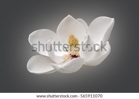 Southern magnolia (Magnolia grandiflora). Modified image of flower