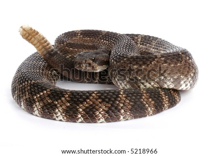 Southern Pacific Rattlesnake (Crotalus viridis helleri). White background.