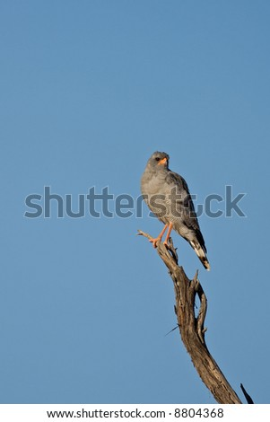 Southern pale chanting goshawk; Melierax canorus; South Africa