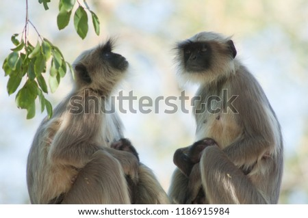 Southern plains gray langurs (Semnopithecus dussumieri). Females and their cubs. Sasan Gir. Gujarat. India.
