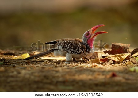 Southern Red-billed Hornbill - Tockus erythrorhynchus rufirostris  family Bucerotidae, which is native to the savannas and dryer bushlands of southern Africa.
