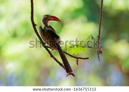 Southern Red-billed Hornbill - Tockus erythrorhynchus rufirostris  family Bucerotidae, which is native to the savannas and dryer bushlands of southern Africa. Green background.