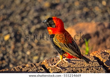 southern red bishop bird in...