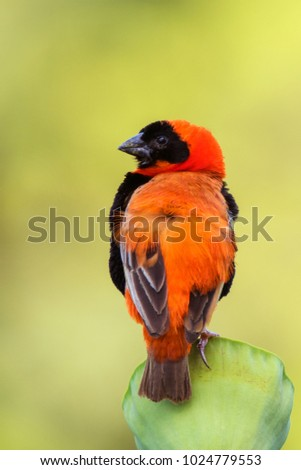 southern red bishop perched on...