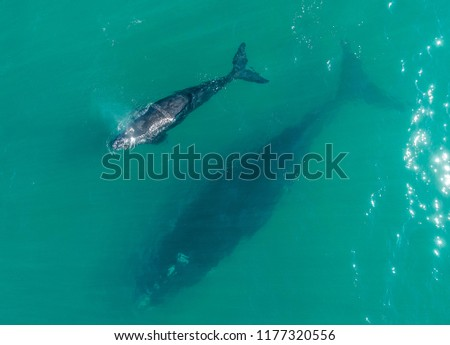 Southern Right Whale mother and calf #1177320556