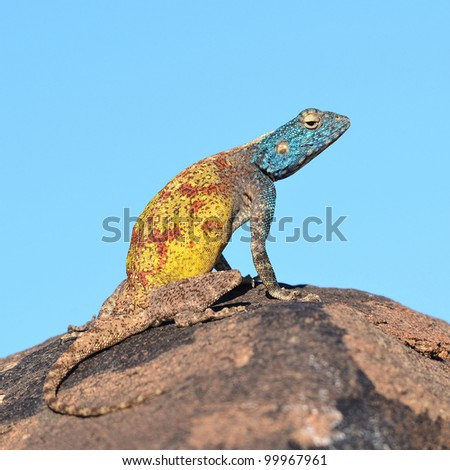 southern rock agama in Namibia
