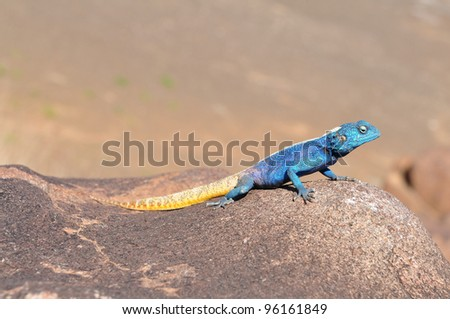 southern rock agama Namibia