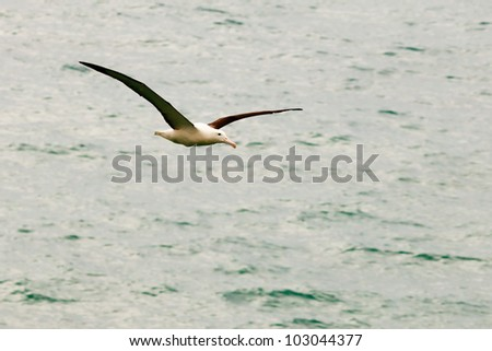 Southern Royal Albatross, Diomedea epomophora, with large wingspan gliding over ocean surface