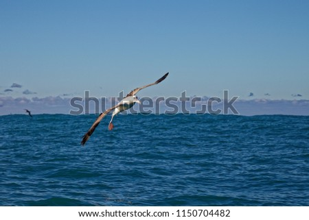 Southern royal albatross, gliding into a landing on the ocean, Kaikoura, New Zealand #1150704482