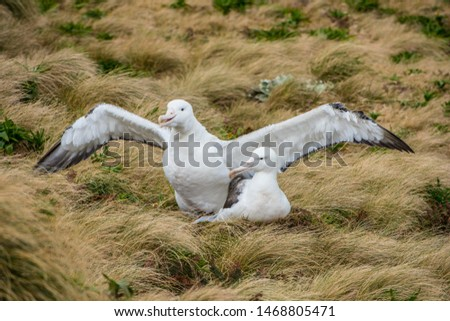 Southern Royal Albatross has its central breeding location on  Campbell Island, south of New Zealand.  They rival the Wandering Albatross for the world's longest wingspan of about 13 feet.   #1468805471