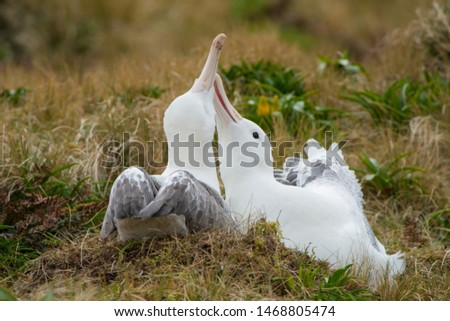 Southern Royal Albatross has its central breeding location on  Campbell Island, south of New Zealand.  They rival the Wandering Albatross for the world's longest wingspan of about 13 feet.   #1468805474