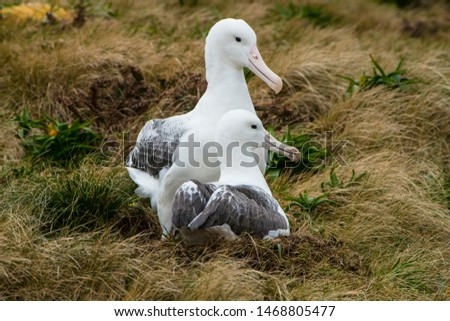 Southern Royal Albatross has its central breeding location on  Campbell Island, south of New Zealand.  They rival the Wandering Albatross for the world's longest wingspan of about 13 feet.   #1468805477