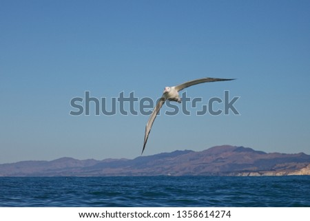 Southern royal albatross, soaring above the ocean, Kaikoura coastline, New Zealand. #1358614274