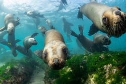 Southern sea lions in shallow water at a colony, Nuevo Gulf, Valdes Peninsula, Argentina