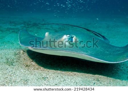 Southern Stingray (Dasyatis Americana) Approaching over Sand Bottom, Cano Island, Costa Rica