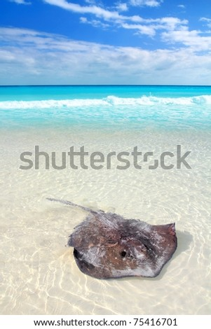 southern stingray Dasyatis americana in Caribbean beach Contoy Mexico [Photo Illustration]