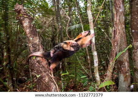 Southern tamandua  photographed in Guarapari, Espírito Santo - Southeast of Brazil. Atlantic Forest Biome. Picture made in 2007.