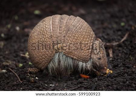 Southern three-banded armadillo (Tolypeutes matacus), also known as the La Plata three-banded armadillo.