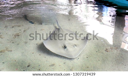 Southern white albino stingray in a petting stingray tank. Stingrays in a tank that you can pet as they swim by you. #1307319439