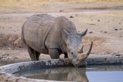 Southern white rhinoceros (Ceratotherium simum) drinks at water trough waterhole  in Ol Pejeta Conservancy, Kenya, Africa. Near threatened, Square-lipped rhino, with long horns, seen on African safari