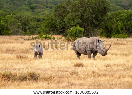 Southern white rhinoceros cow and calf (Ceratotherium simum) in Ol Pejeta Conservancy, Kenya, Africa. Near threatened species also known as Square-lipped rhino. Mother with cute baby animal Foto stock ©
