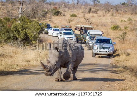 Southern white rhinoceros in Kruger National park, South Africa ; Specie Ceratotherium simum simum family of Rhinocerotidae #1137051725