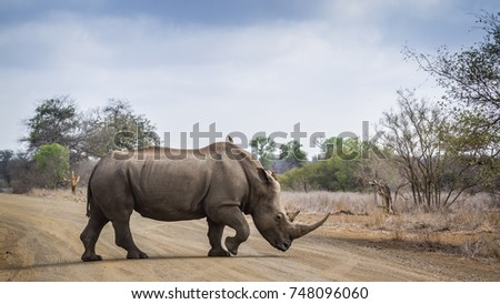 Southern white rhinoceros in Kruger national park, South Africa ; Specie Ceratotherium simum simum and Panthera leo